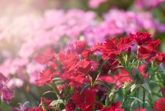 Dianthus Flower. Beautiful Dianthus Red And pink Flower in garden soft focus Royalty Free Stock Photo