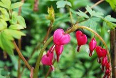 Beautiful dicentra flower Stock Photos