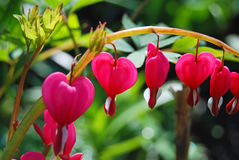 Beautiful dicentra flower Royalty Free Stock Image