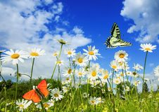 Beautiful different butterflies flutter in a bright meadow over white flowers daisies on a Sunny summer day. Different butterflies flutter in a bright meadow stock photo