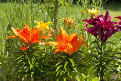 Beautiful different colored lilies in the garden Royalty Free Stock Photos