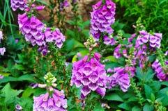Digitalis  flowers garden in bloom   royalty free stock photos