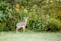 A beautiful Dik Dik antelope near Lake Naivasha Royalty Free Stock Photo