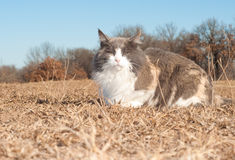 Beautiful diluted calico cat resting Royalty Free Stock Images