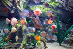 Beautiful discus fishes in water Stock Images