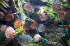Beautiful discus fishes in water Royalty Free Stock Photos