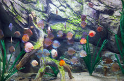 Beautiful discus fishes in water Royalty Free Stock Images