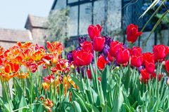 Beautiful display of brightly multi-coloured upright tulips in full bloom. Brightly coloured flowerbed full of multi coloured tulips with an old manor house in royalty free stock images