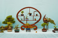 A beautiful display of Shohin bonsai in Belfast Northern Ireland enthusiast. With a stunning oval centre piece stand and many tree varieties Royalty Free Stock Image