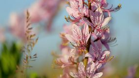 Beautiful dittany flowers in the springtime Dictamnus albus stock video footage