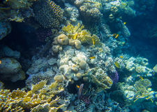 Beautiful and diverse coral reef with fish of the red sea Stock Photography