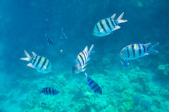 Beautiful and diverse coral reef with fish of the red sea Royalty Free Stock Image