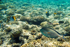Beautiful and diverse coral reef with fish of the red sea Stock Image