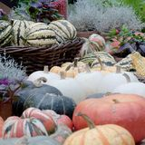 Harvest season and preparations for the next season. Beautiful and diverse pumpkins and flowers in provincial, agriculture royalty free stock photo