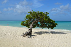 Beautiful Divi Divi Tree on Eagle Beach Stock Photos