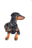 Beautiful doberman pinscher Stock Image