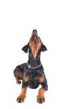 Beautiful doberman pinscher Royalty Free Stock Photography