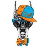 Beautiful Doberman wearing glasses, a cap and tie. Pedigree do Stock Image