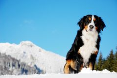 Beautiful dog. Free dog on the snowy mountain Stock Photo