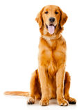 Beautiful dog Royalty Free Stock Image