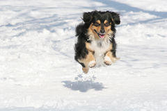 Beautiful Dog. Beautiful young  Dog in Winter time Royalty Free Stock Photos