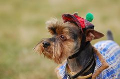 Beautiful dog. Beautiful yorkshire terrier in a hat royalty free stock photo