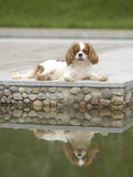 Beautiful dog. King Charles Cavalier Spaniel sitting by the lake Stock Photography