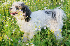 Beautiful Dog. Standing in the grass Royalty Free Stock Photo