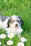 Beautiful Dog. Standing in the grass Royalty Free Stock Images