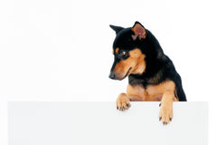 Beautiful dog above billboard Stock Image