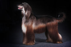 Beautiful dog Afghan hound Royalty Free Stock Photography