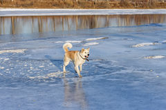 Beautiful dog Akita Inu stands on the river on the ice. Royalty Free Stock Photography