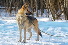 Half-breed shepherd and the wolf Royalty Free Stock Photos