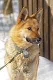 Half-breed shepherd and the wolf Stock Images