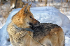 Half-breed shepherd and the wolf Royalty Free Stock Image