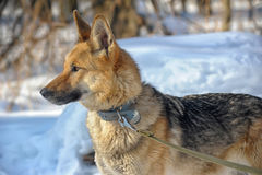 Half-breed shepherd and the wolf Stock Photography