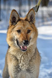 Half-breed shepherd and the wolf Royalty Free Stock Images