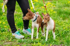 Basenji dogs on the green grass in the field. Beautiful dog Basenji in the summer in a field next to the feet of a girl Stock Images