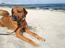 beautiful dog on beach Stock Photos