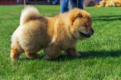 Beautiful dog breed Chow Chow red color is to show the position run in the summer on the grass. Champion exhibitions. dog show.  royalty free stock images