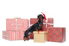 Beautiful dog breed dachshund, black and tan, in a red Santa Claus cap, stands on to a stack christmas gift boxes, isolated on whi stock photo