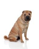 Beautiful Dog Breed Stock Photos