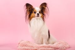 Beautiful dog breed papillon white-red coloring