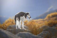 Free Beautiful Dog Breed Saluki On The Rocks. Stock Images - 180027224