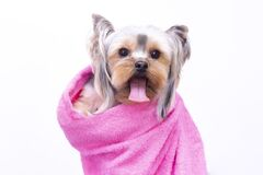 Free Beautiful Dog Breed Spitz. Salon For Animals. Well-groomed Dog After Bathing. Royalty Free Stock Image - 169391296