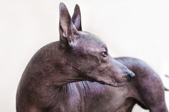 The beautiful dog breed Xoloitzcuintle Mexican Hairless dog royalty free stock image