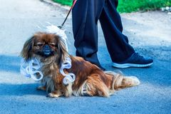 Beautiful dog bride on nice street background royalty free stock image