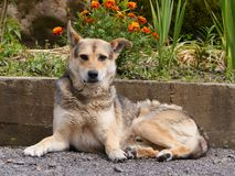 A beautiful dog with clean hair and a clever look lying on the ground strewn with small stones. A faithful friend who Royalty Free Stock Image