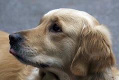 Beautiful dog Royalty Free Stock Images