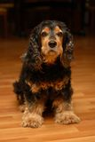 The beautiful dog - cocker spaniel Stock Photos